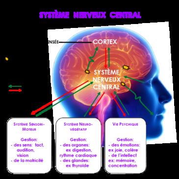 Fatigue, vertiges, timidité, allergies… et si cela venait du cerveau ? La Neuro-Pédagogie Visuelle corrige votre fonctionnement interne